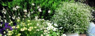 """Tausende kleine Blütchen: Die Trendpflanze """"Zauberschnee"""" begeistert, ob nun als Solist oder in Kombination mit anderen Pflanzen. Bild © Kientzler Jungpflanzen."""