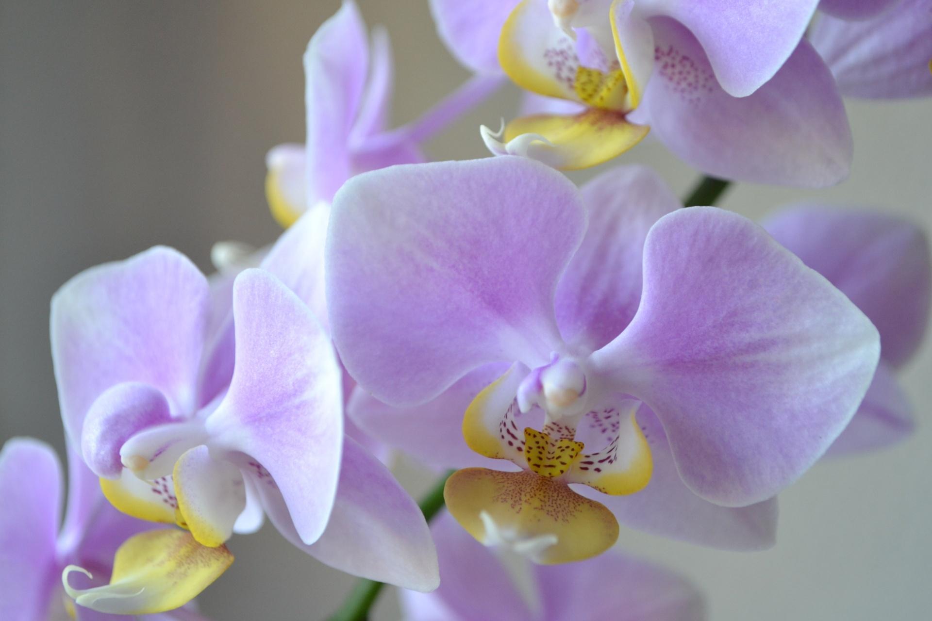 conseils d 39 entretien pour les orchid es. Black Bedroom Furniture Sets. Home Design Ideas