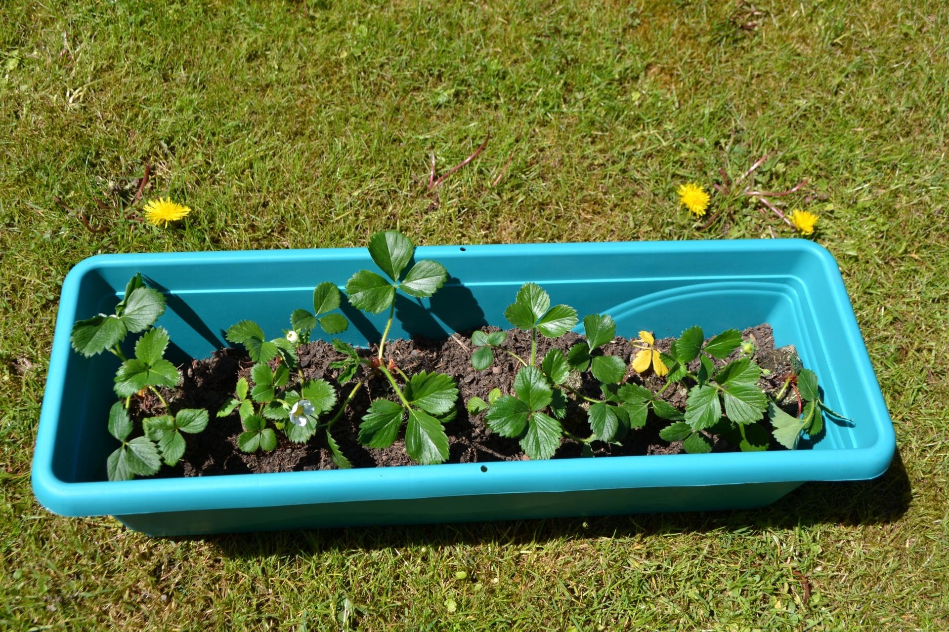 erdbeeren pflanzen balkon erdbeeren auf balkon pflanzen. Black Bedroom Furniture Sets. Home Design Ideas